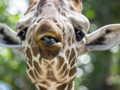 giraffe_portrait_1