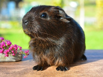 pet portrait guinea pig